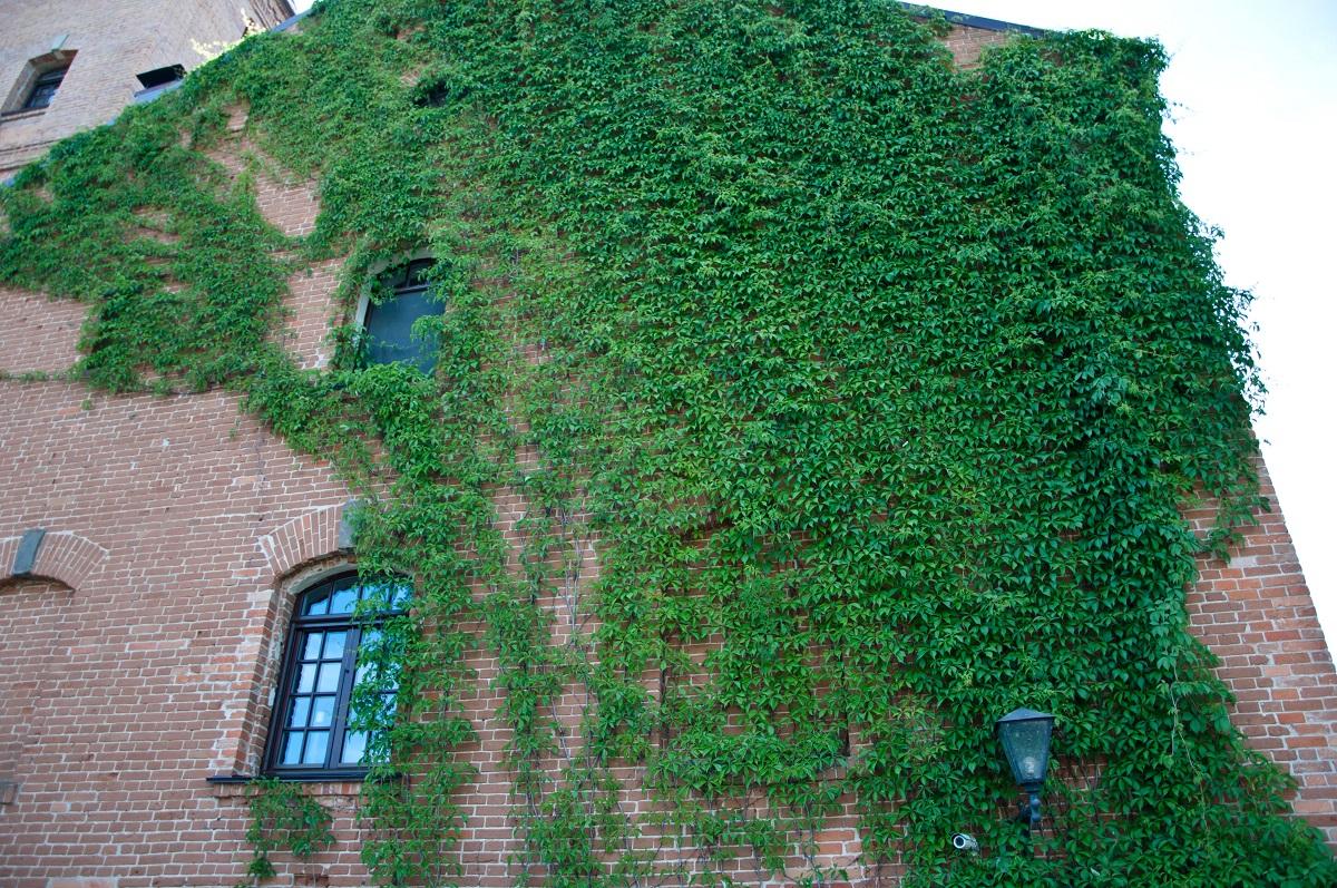 Green Facade - Vines Naturally Growing on Building