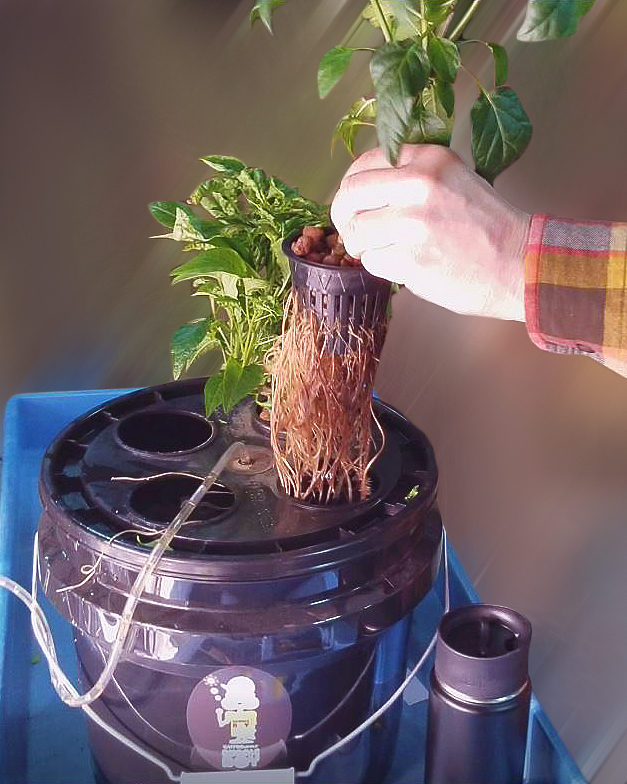 Transplanting Hydroponic Seedlings and Growing Plants